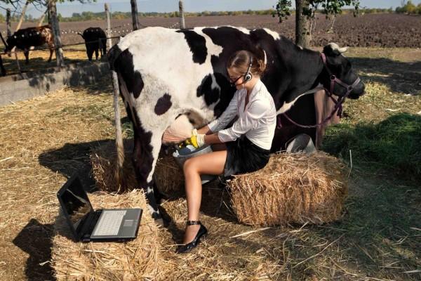Molža krave in računalnik