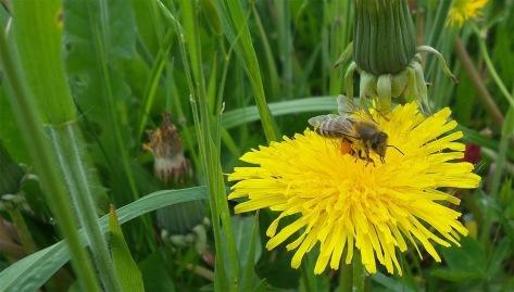 Čebela med nabiranjem medu/Foto: Janez Temlin