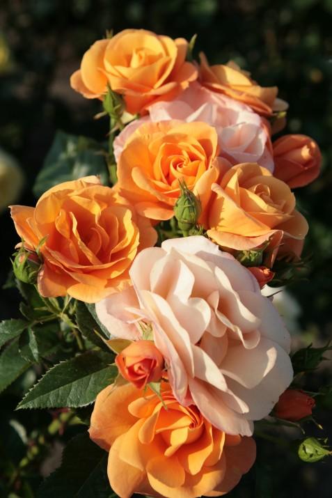 Cvetovi vrtnice Portorož so žareče oranžne barve, ki s cvetenjem spreminjajo barvo v rumeno in bledo rožnato.